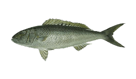 Jobfish (Green)