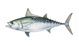Little Tunny (False Albacore)