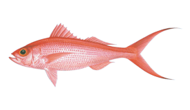 Long-Tail Red Snapper (Onaga)