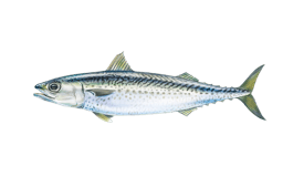 Mackerel (Atlantic)