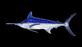 Marlin (Blue)