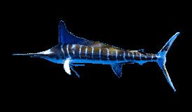 Marlin (Striped)