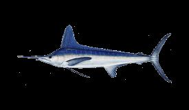 Marlin (White)