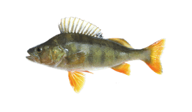 Perch (European)