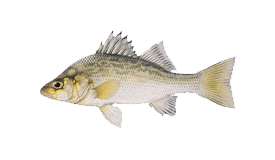 Perch (White)
