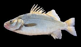 Perch (White)