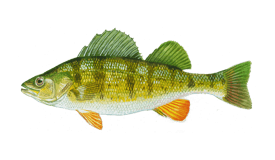 Perch (Yellow)