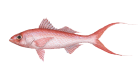 Queen Snapper (Caribbean)