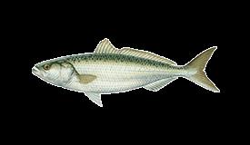 Salmon (Australian)
