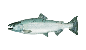 Salmon (Chinook)