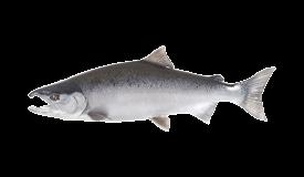 Salmon (Coho)