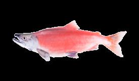 Salmon (Sockeye)