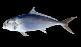 Samson Fish