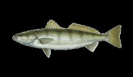 Seabass (White)