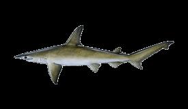 Shark (Bonnethead)