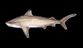 Shark (Bull)