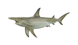 Shark (Hammerhead)