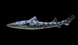 Shark (Leopard)
