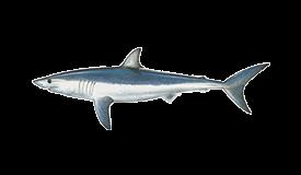 Shark (Mako)