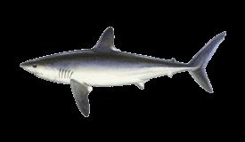 Shark (Porbeagle)