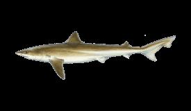 Shark (Tope)
