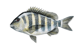 Image of a Sheepshead fish
