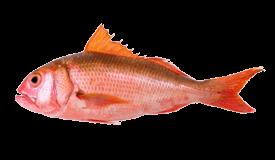 Short-Tail Red Snapper (Ehu)