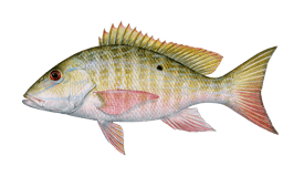 Snapper (Mutton)