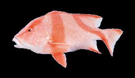 Snapper (Red Emperor)