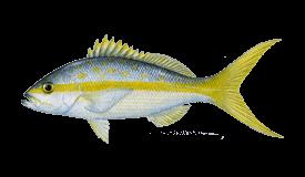 Snapper (Yellowtail)