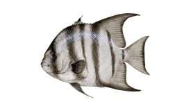 Image of a Spadefish