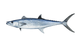Spanish Mackerel (Narrow-barred)