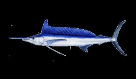 Spearfish (Longbill)