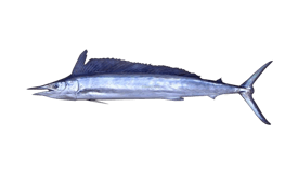 Spearfish (Shortbill)
