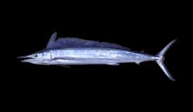 Spearfish (Shortbill)