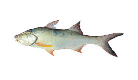 Threadfin Salmon