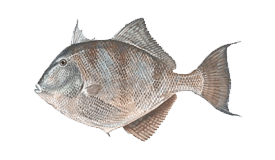 Triggerfish (Gray)