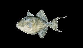 Triggerfish (Gray)