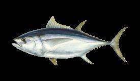 Tuna (Bigeye)