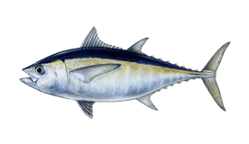 Tuna (Blackfin)
