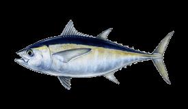 Tuna (Blackfin)