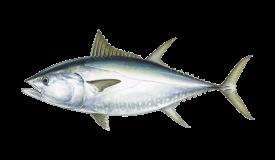Tuna (Bluefin)