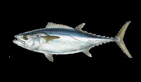 Tuna (Dogtooth)