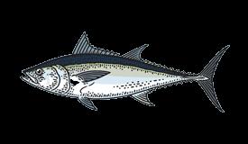 Tuna (Longtail)