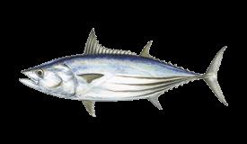 Tuna (Skipjack)