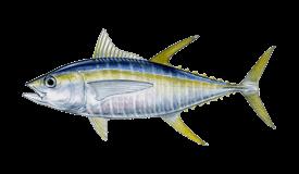 Tuna (Yellowfin)