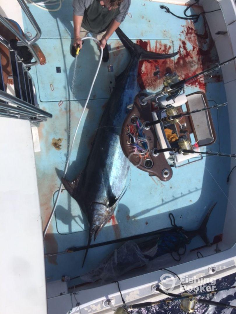 630lbs Blue Marlin 1/3/2018