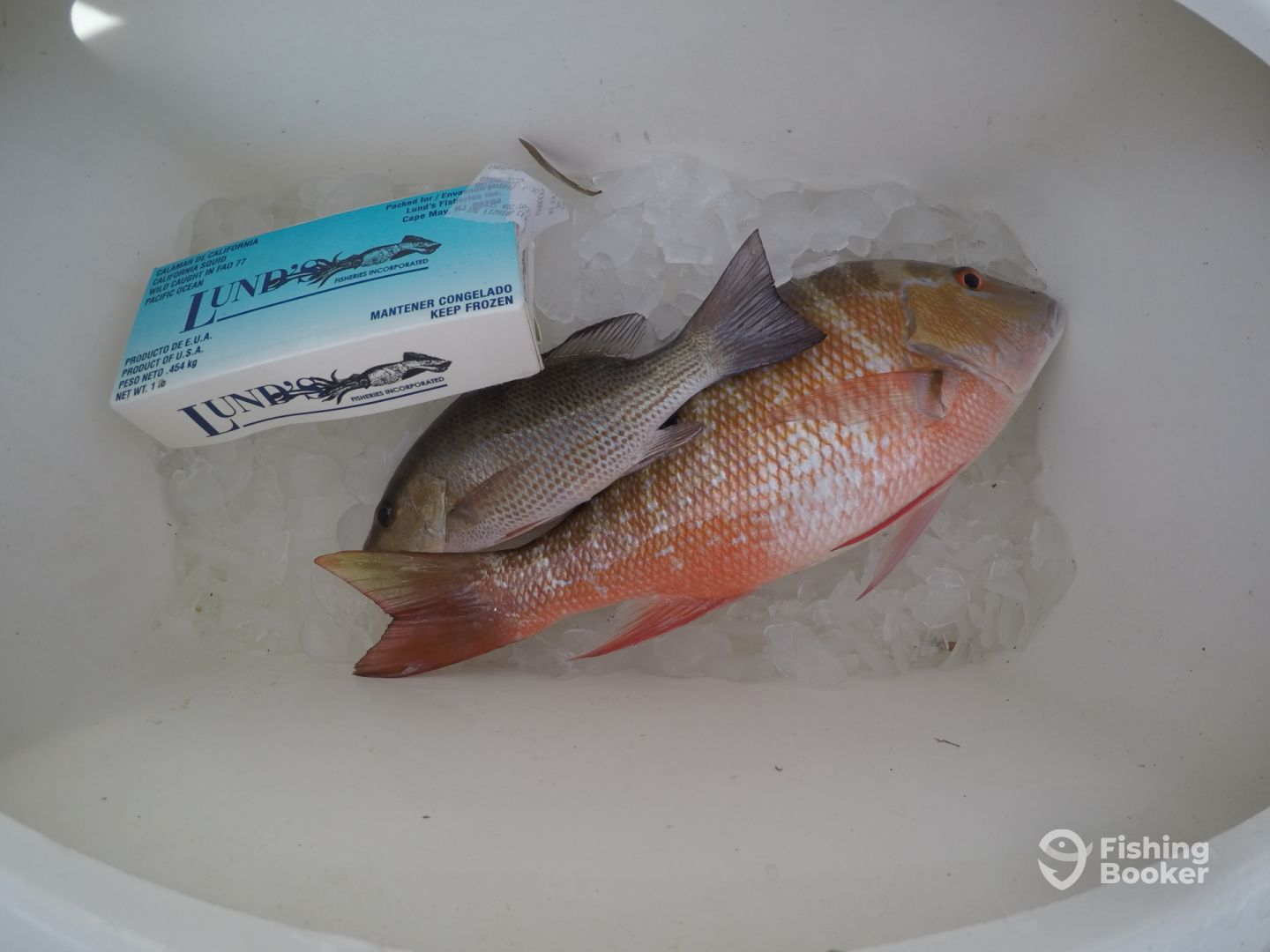 10.5 inch Mangrove and 17 inch Mutton Snapper.