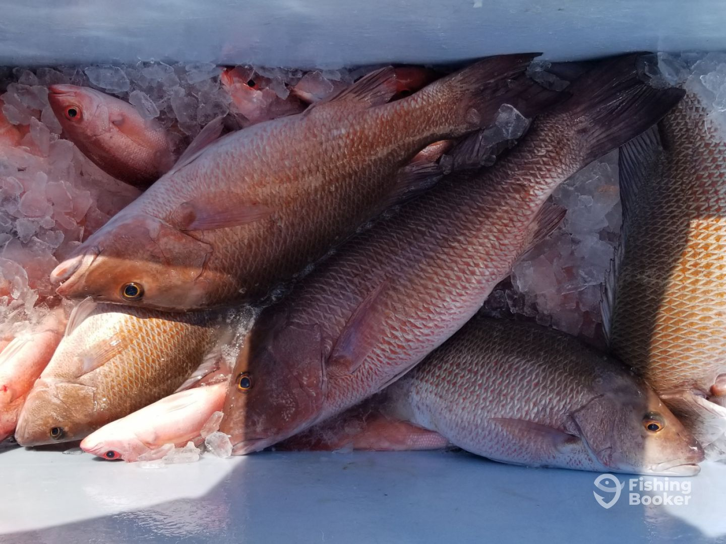 Black snapper and vermillion snapper