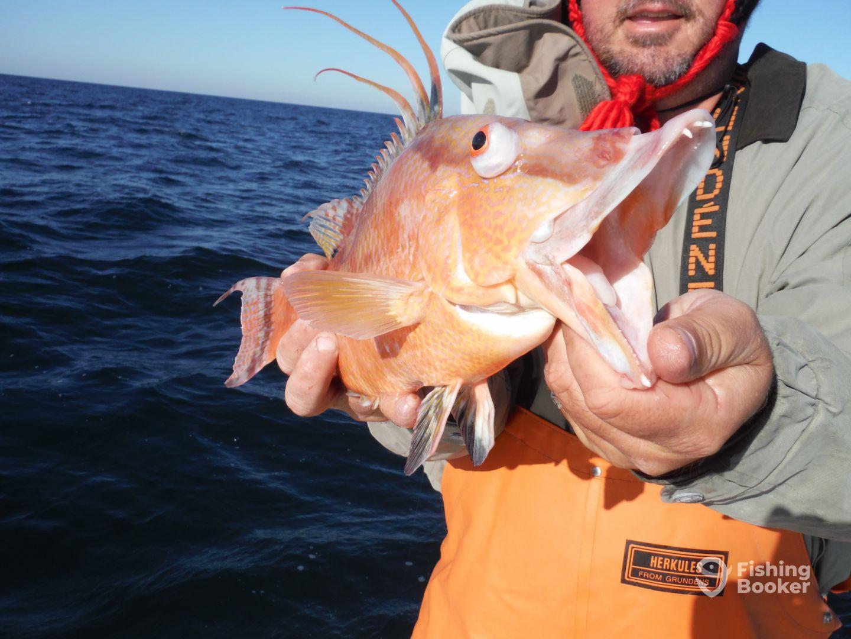 The elusive Hogfish